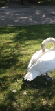 Swan preening on the shore